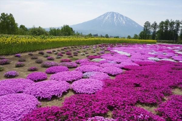 北海道の芝桜