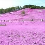 色鮮やかなじゅうたんに圧巻!北海道の芝桜スポットまとめ♪