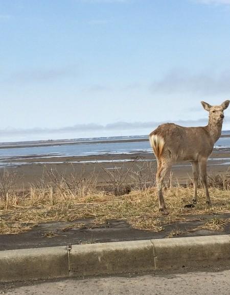 野付半島の鹿