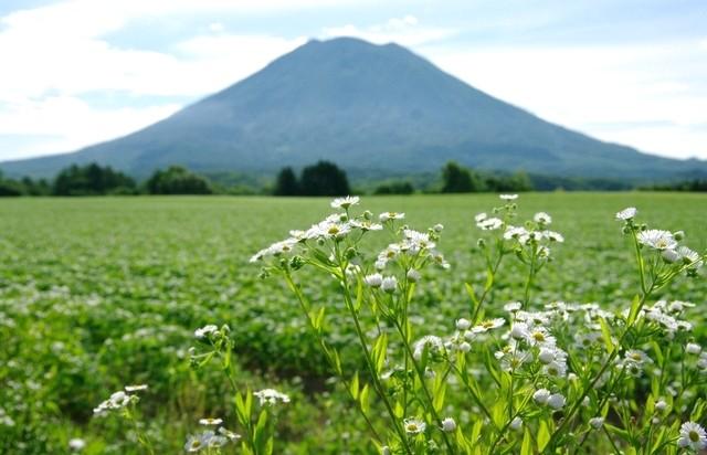 羊蹄山と野花