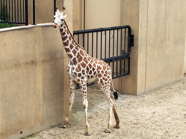 旭山動物園 キリン
