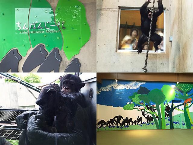 旭山動物園 チンパンジー