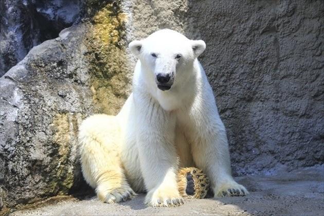 旭山動物園 シロクマイメージ