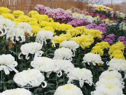 北見市 菊のお祭り