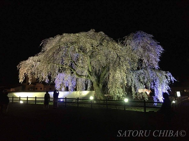 桜回廊のしだれ桜