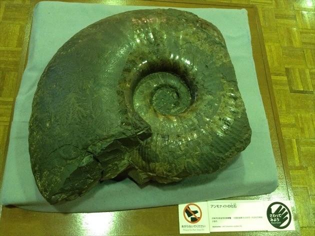 北海道庁旧本庁舎 アンモナイトの化石