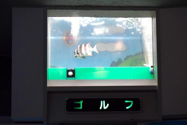 イシダイの水槽