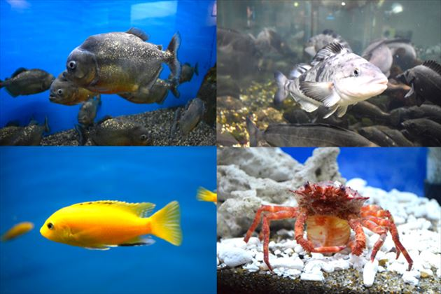 大型水槽の熱帯魚類