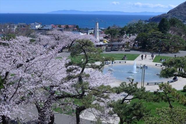 函館公園桜
