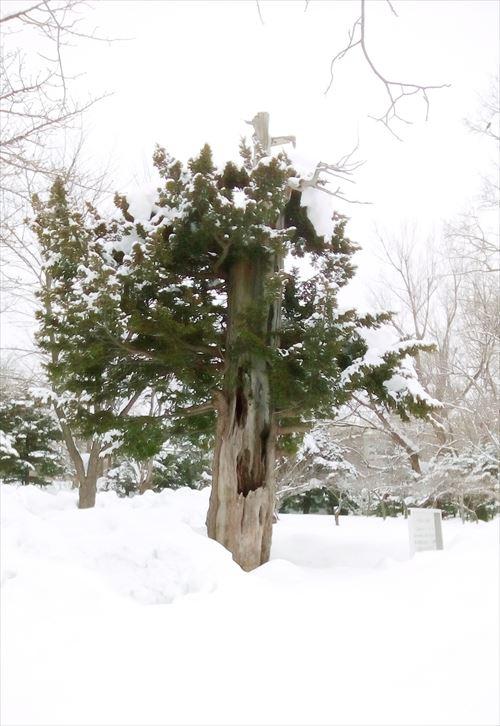 オンコの木