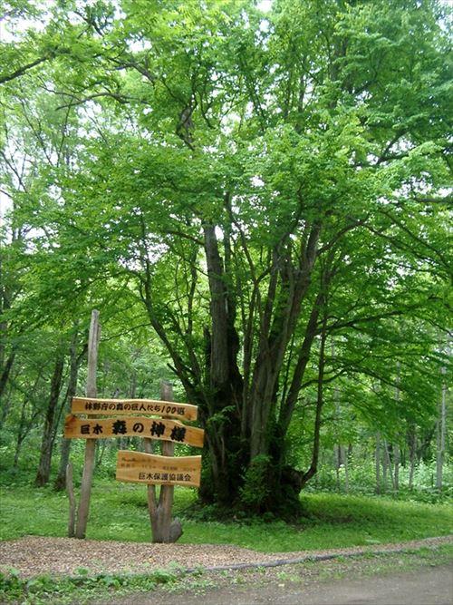 森の神様(カツラ)