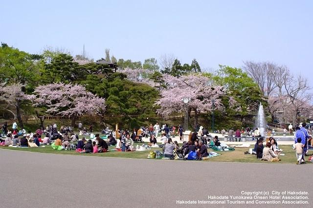 函館公園の桜
