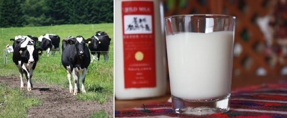 養老牛放牧牛乳