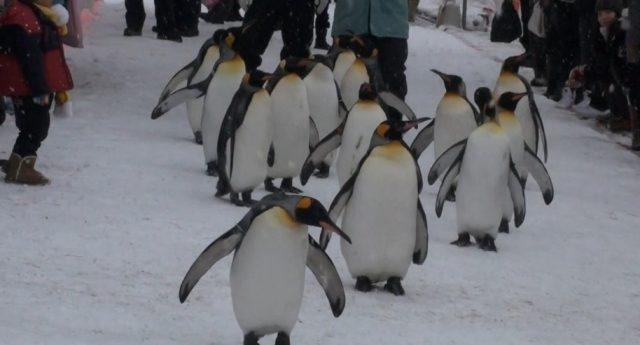 冬の旭山動物園ペンギン散歩