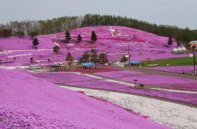 ピンクの絨毯に感動!「ひがしもこと芝桜公園」の楽しみ方