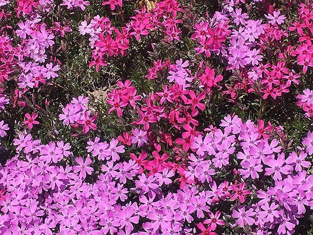 ひがしもこと芝桜公園イメージ