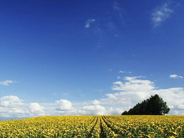 Hokkaido sunflower field