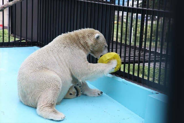 おびひろ動物園-ホッキョクグマ