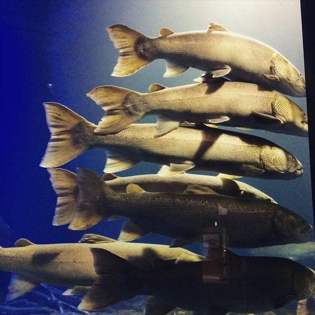山の水族館イトウ