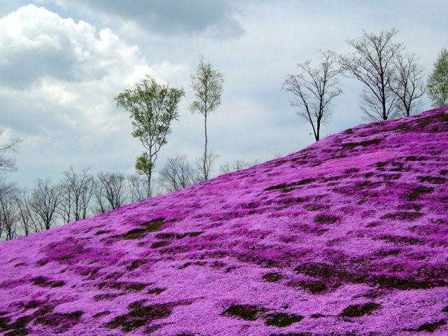 滝上公園芝桜