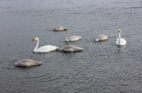 濤沸湖へ白鳥に会いに行こう!希少な野鳥たち&オホーツク海に一番近い喫茶店