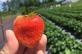【網走でフルーツ狩り】よこやま果樹園で北海道限定いちごに舌鼓♪