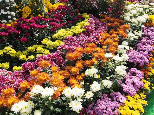 きたみ菊祭り 色とりどりの菊の花