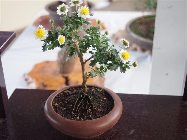きたみ菊祭り 菊花コンクール