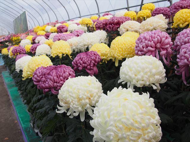 きたみ菊祭り 菊の花