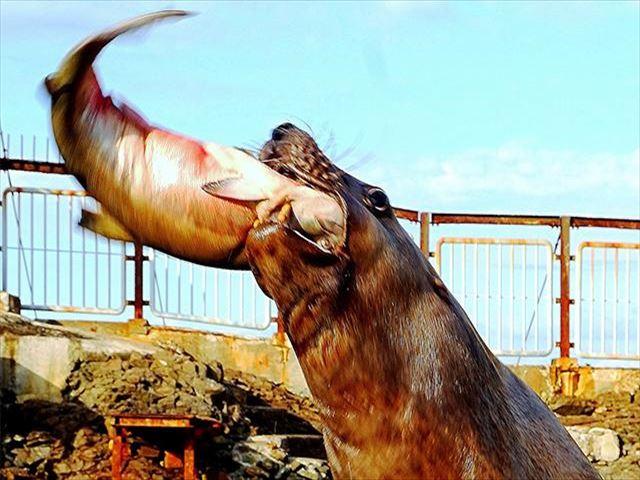 おたる水族館 トドショー3