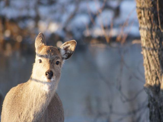 釧路湿原 鹿