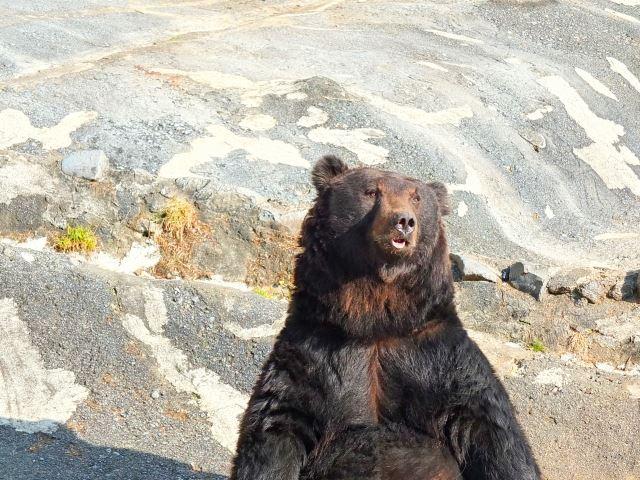 のぼりべつクマ牧場 立ち尽くすエゾヒグマ