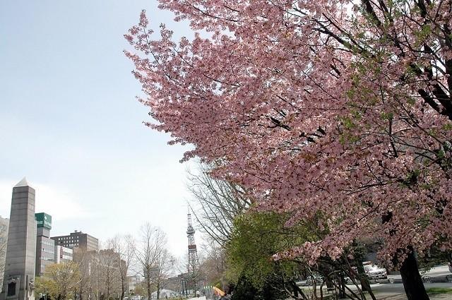 大通公園 敷地内に咲き誇るさくら