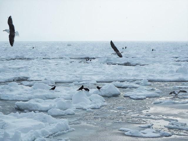 知床 冬 2泊3日 オジロワシ オオワシを見る 流氷 鳥の群れ