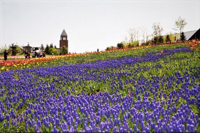 札幌春の花ムスカリ