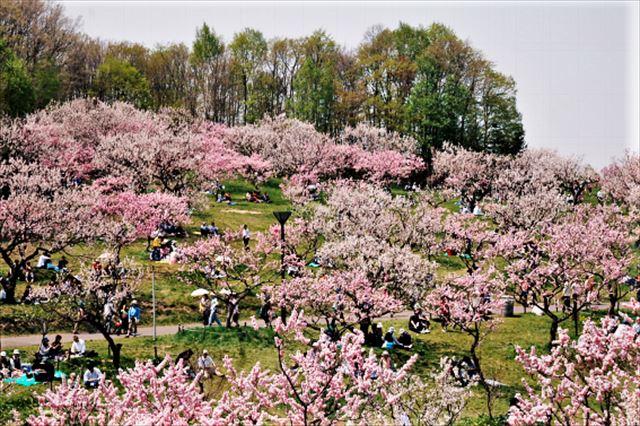 札幌の春の花平岡公園