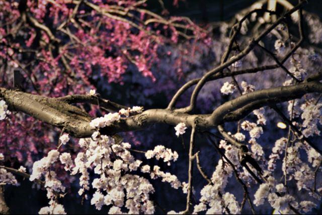 札幌の春の花梅の花