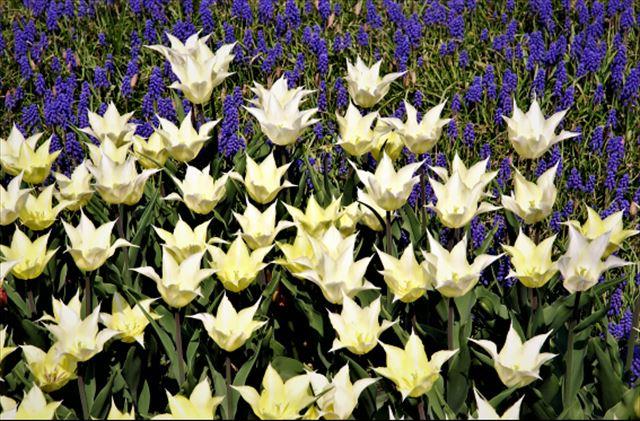 札幌春の花チューリップとムスカリ