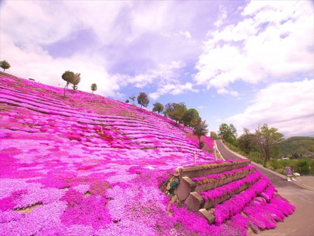 北海道 春 花 滝上町の芝桜