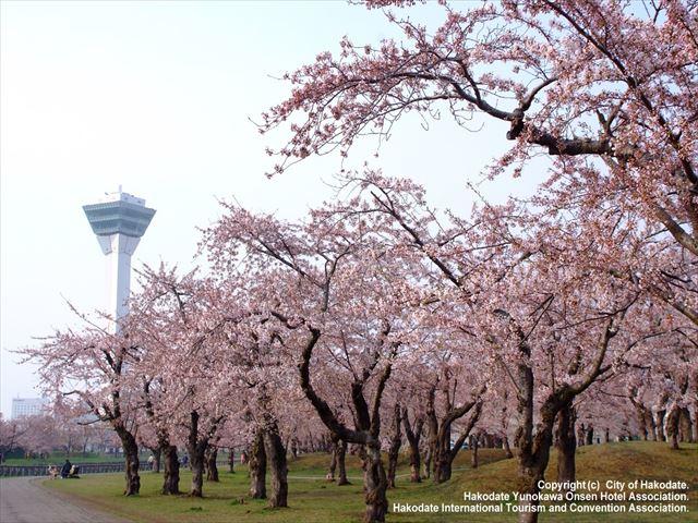 北海道 春 花 函館の桜並木