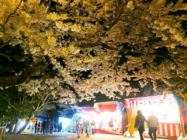 北海道 春 花 函館公園と出店