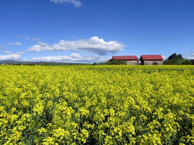 北海道 春 花 丸加高原の菜の花と家