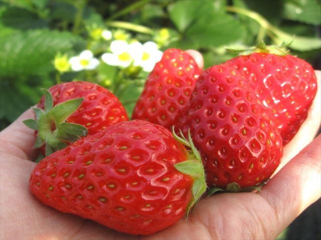 北海道 春 グルメ 手のひら イチゴ
