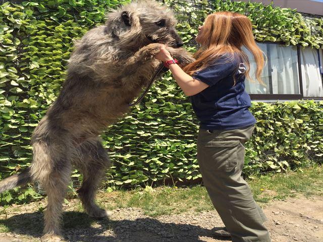 ノースサファリサッポロ  世界最大レベルの犬種アイリッシュウルフハウンド