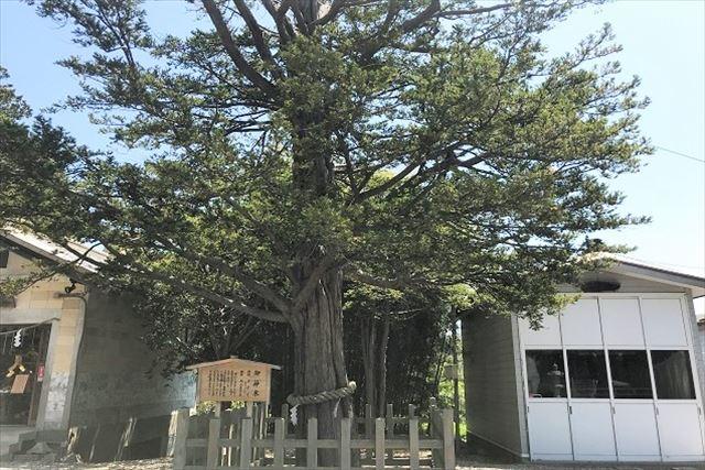 函館湯倉神社 銀杏