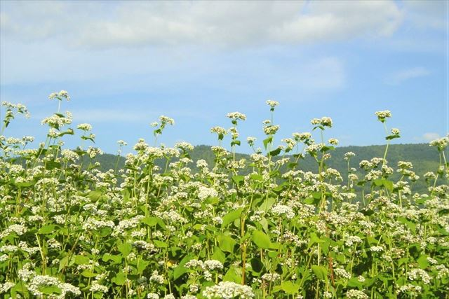 北海道 そば 深川町 そばの花