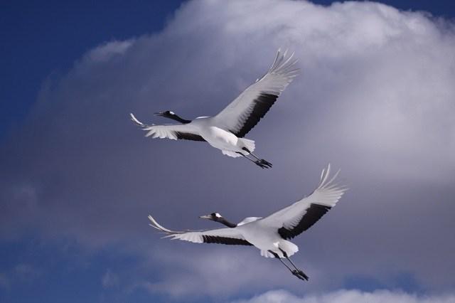 釧路 タンチョウ ねぐらへ向けて群れで一斉に飛び立つ姿