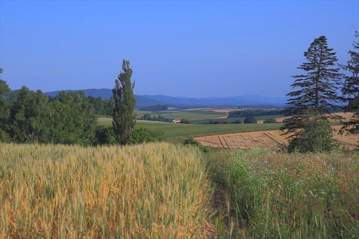 トムテルム 麦畑