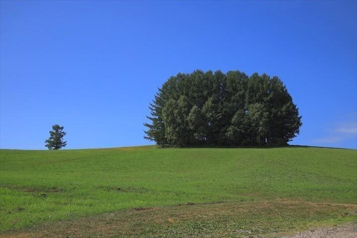 美瑛 フォトスポット マイルドセブンの木