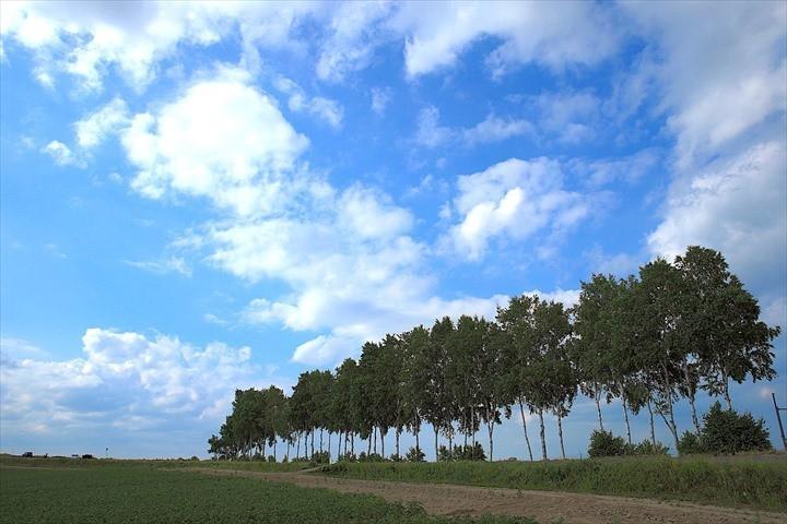 パッチワークの路 白樺並木